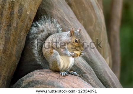 Squirrel eating nut on log