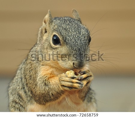 Squirrel Eating Walnut