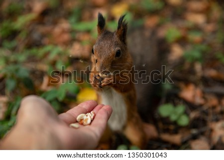 Squirrel eats. Squirrel takes the nuts from his hands.
