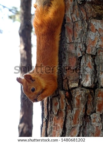 Squirrel hangs upside down on a tree and eats a nut