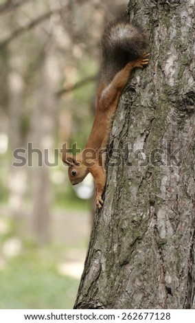 Squirrel head down on the tree