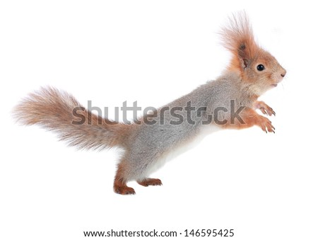 squirrel in a jump on a white background