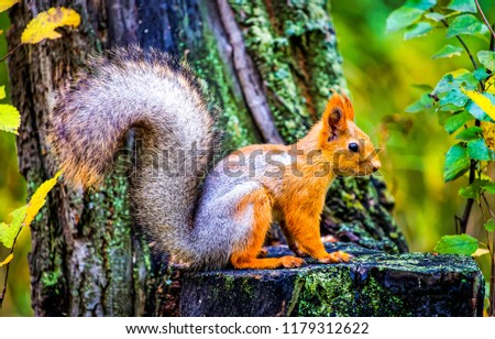 Squirrel in autumn forest scene. Autumn forest squirrel. Squirrel in autumn forest scene. Squirrel in autumn nature