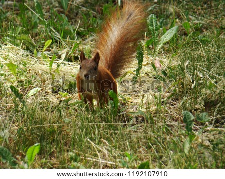 Squirrel in the green grass. Red-haired squirrel sits in the grass. The photo.