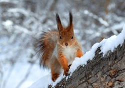 Squirrel in the snow in winter forest.