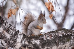 Squirrel in winter sits on a birch tree trunk. Eurasian red squirrel, Sciurus vulgaris, sitting on trunk covered in snow in winter.