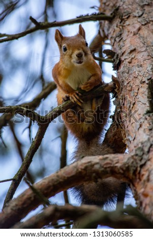 Squirrel looking down from the tree.Close up photo in the summer.