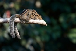Squirrel mating on a tree branch.