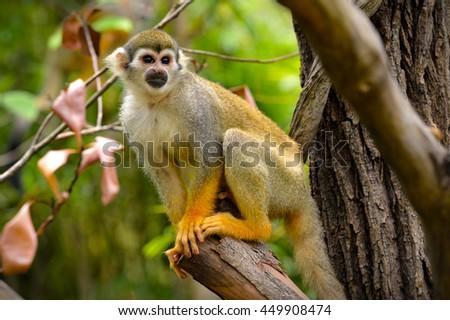 Squirrel monkey  #449908474