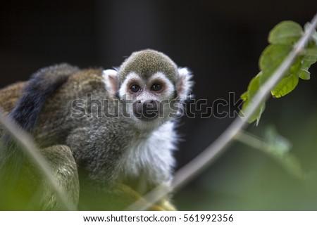 squirrel monkey   #561992356
