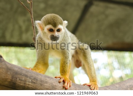 Squirrel Monkey;Common Squirrel Monkey on a branch (Saimiri sciureus,shallow DOF)