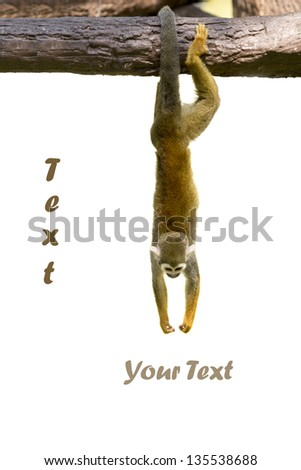 Squirrel monkey hanging on white background