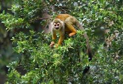 squirrel monkey  in forest