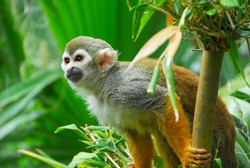 SQUIRREL MONKEY IN JUNGLE ZOO