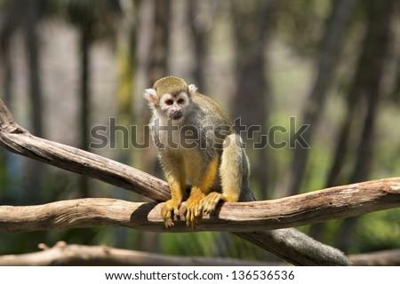 Squirrel monkey on wood