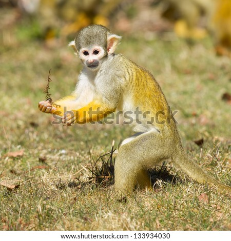 Squirrel Monkey (Saimiri boliviensis) in Holland looking for food #133934030