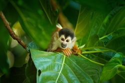 Squirrel monkey, Saimiri oerstedii, sitting on the tree trunk with green leaves, Corcovado NP, Costa Rica. Monkey in the tropic forest vegetation. Wildlife scene from nature. Beautiful cute animal.