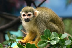 Squirrel Monkey small ape of South America looking to something