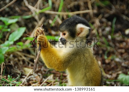 Squirrel monkey studying #138993161