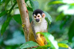 Squirrel Monkey with Orange Fur while Sitting In Jungle Trees