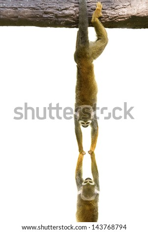 Squirrel monkeys hanging on white background
