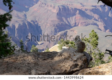 Squirrel observes the Grand Canyon