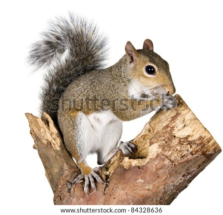 Squirrel on a bough of a tree is sunflower seeds #84328636