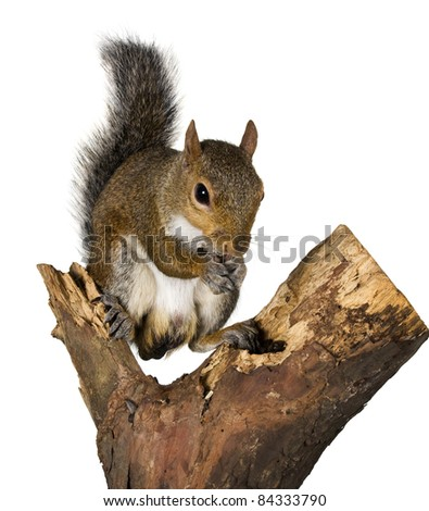 Squirrel on a bough of a tree is sunflower seeds
