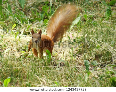 Squirrel on a green lawn. Red squirrel jumping on the green grass. A photo.