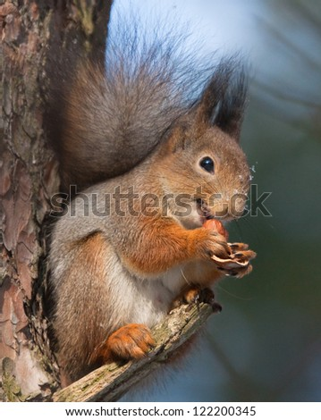 Squirrel on branch of pine tree with a hazelnut