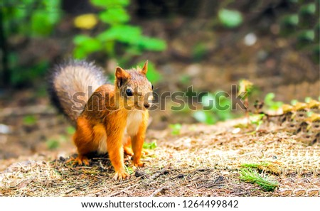 Squirrel on ground. Squirrel nature view. Squirrel portrait. Squirrel funny #1264499842