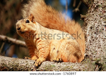 Squirrel on Pine Tree