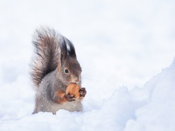 squirrel on snow with nut