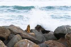 Squirrel on the beach, stormy sea waves on background, Morro Bay, California