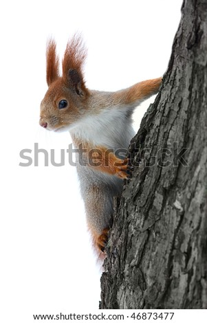 Squirrel on the tree at white background
