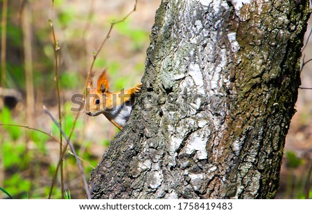 Photo of  Squirrel on the tree in forest. Squirrel on tree