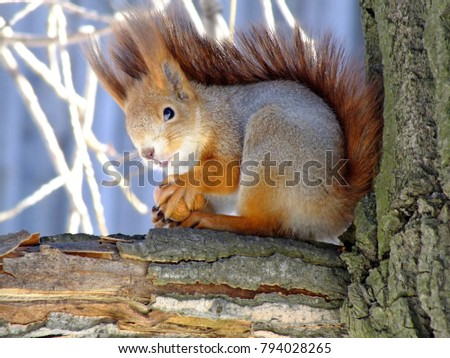 Squirrel on tree. Closeup of cute grey and red squirrel eating nut (Sciurus vulgaris). Curious squirrel with big ears and beautiful wool in forest or park. Portrait of wild red squirrel on tree trunk. #794028265