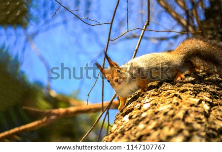 Squirrel on tree. Cute squirrel on tree. Squirrel on tre look down