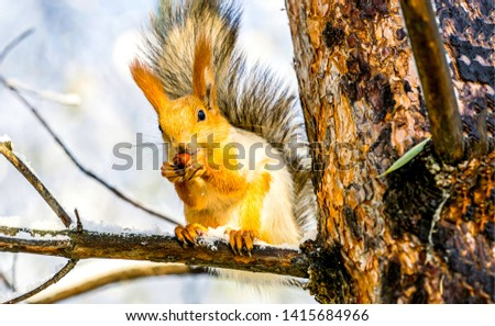 Squirrel on tree in forest. Squirrel eat nut on tree branch. Squirrel on tree branch. Squirrel eating nuts