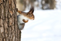 Squirrel on tree in winter park