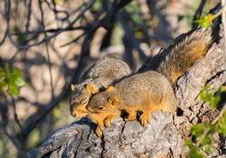 Squirrel Pair in Tree