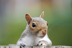 Squirrel peering over a fence