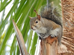 Squirrel perched on a palm tree