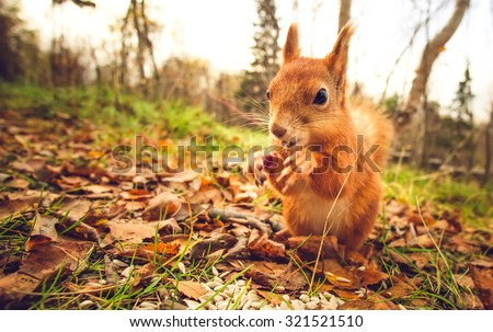 Squirrel red fur funny pets autumn forest on background wild nature animal thematic (Sciurus vulgaris, rodent) #321521510