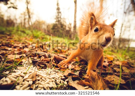 Squirrel red fur funny pets autumn forest on background wild nature animal thematic (Sciurus vulgaris, rodent) #321521546