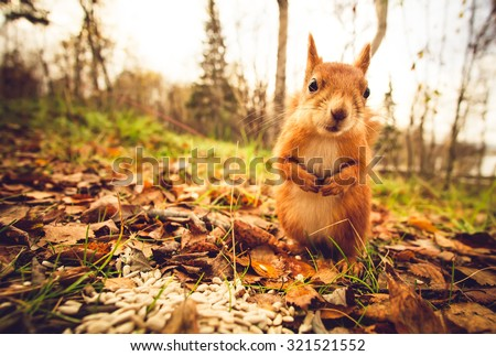 Squirrel red fur funny pets autumn forest on background wild nature animal thematic (Sciurus vulgaris, rodent) #321521552