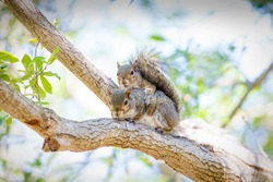 Squirrel romance