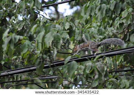 Squirrel Running on Power Line #345435422