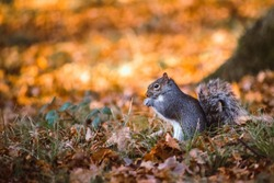 Squirrel sat upright eating in the autumnal woods
