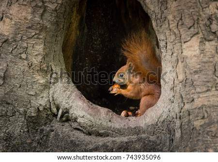 squirrel sits in the tree hollow and eat the nut